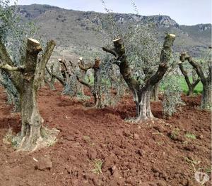 Piante di ulivo secolari per il giardino posot class - Piante per il giardino ...
