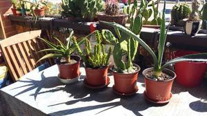 Lot.n.37xx 4 piante grasse assortite