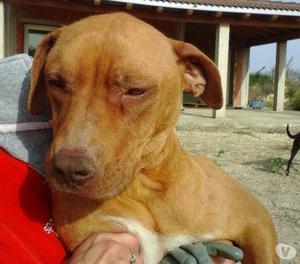 Queena, cane 2 anni e mezzo, taglia medio grande.