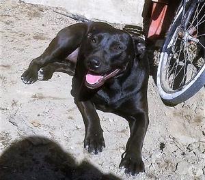 Rosalie, cane 1 anno, taglia medio-grande.