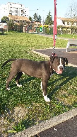 American Staffordshire Terrier - Cucciolo 5 mesi