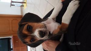 Beagle di 2 mesi