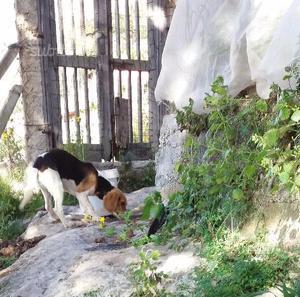 Beagle femmina di 1 anno