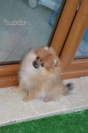 Bellezza e dolcezza in 1 cucciola di spitz