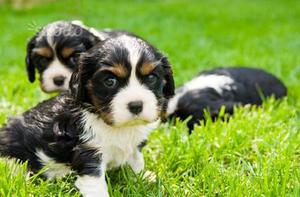 Cavalier King cuccioli