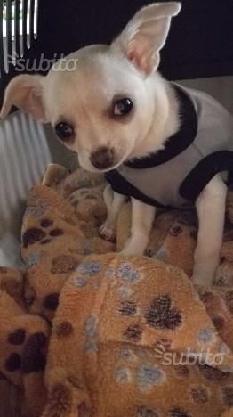 Chihuahua femminuccia 3 mesi bianca toy
