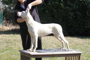 Cucciole di dogo argentino con Pedigree