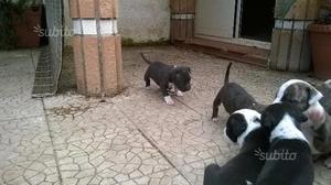 Cuccioli AMSTAFF American Staffordshire Terrier
