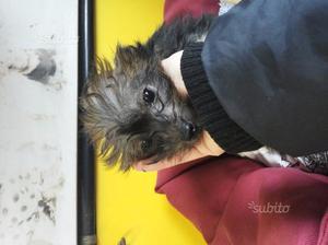 Cucciolo di chinese crested dog