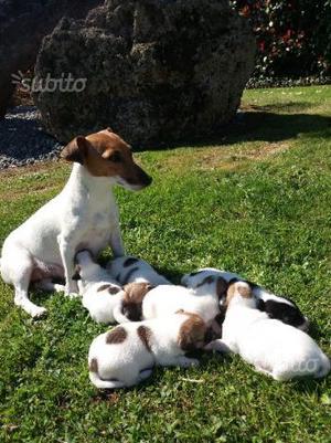 Jack russel terrier cuccioli