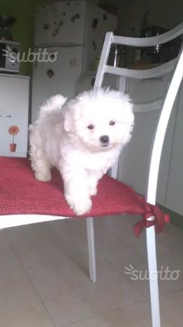 Maltese toy