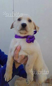 Meringa, cucciolo, femmina, 3 mesi, regalo, adotto