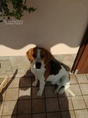 Regalo beagle maschio non sterilizzato età 5 anni