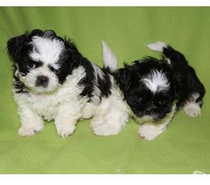Shitzu, cuccioli maschio di taglia piccola