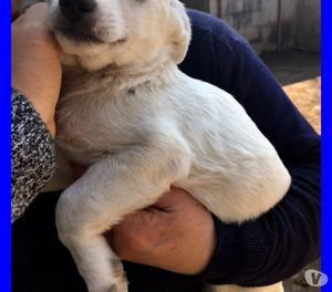 BOTTONCINA adorabile cucciola 4 mesi tutta bianca