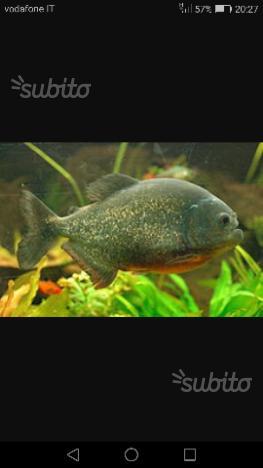 2 Piranha nattereri