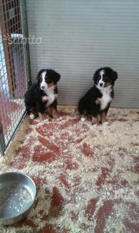 Bovari del bernese cuccioli di 3 mesi
