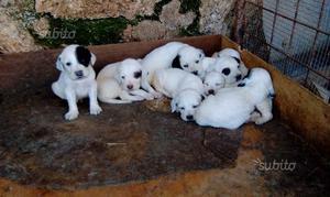Cani setter inglese