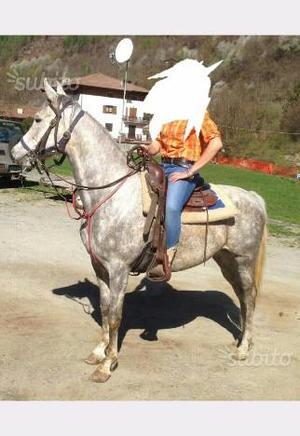 Cavallo anglo arabo