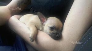 Chihuahua femmina pelo lungo
