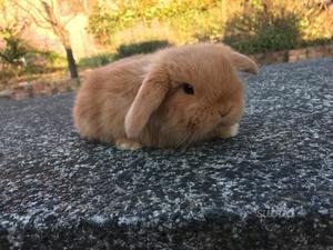 Coniglio razza ariete posot class - Lettiera coniglio nano ...