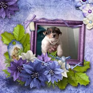 Cucciola femmina bieweryorkshire terrier