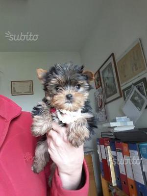 Cucciola femmina york shire terrier