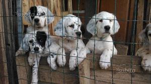 Cuccioli di setter