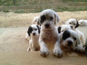 Cuccioli setter inglese