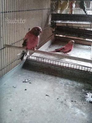 Gabbie e pappagalli mutati