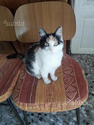 Gattina tricolore di circa un anno
