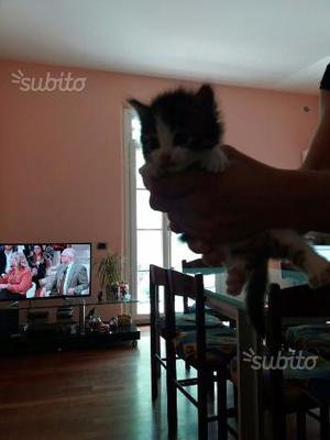 Gattini mix norvegesi