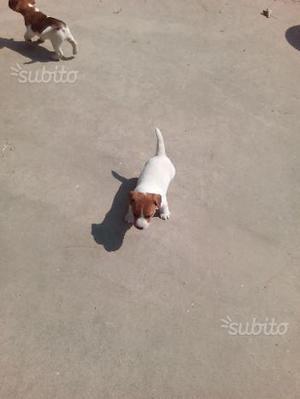 Jack Russel Terrier a pelo corto