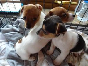 Jack russel cuccioli italiani