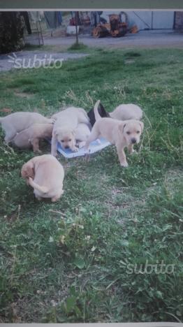 Regalo cuccioli meticci