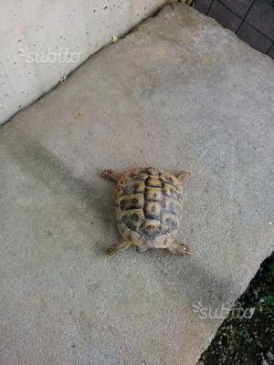Tartaruga da terra maschio