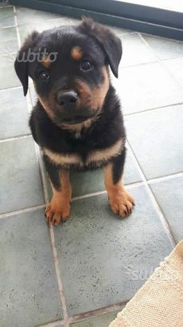 Ultima cucciola di rottweiler