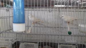 Canarini bianchi