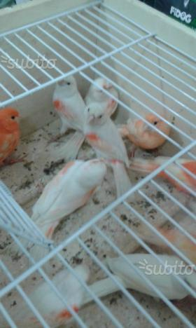 Canarini mosaici femmine