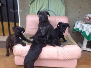 Cane Corso cuccioli