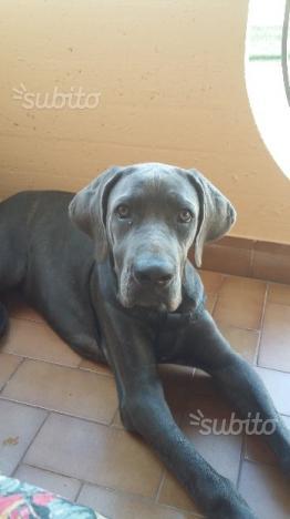 Cane corso femmina in adozione