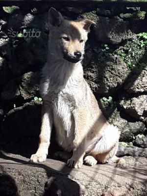 Cucciolo Cane Lupo Cecoslovacco