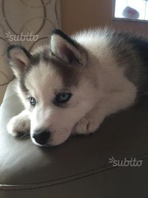 Cucciolo Husky Siberiano