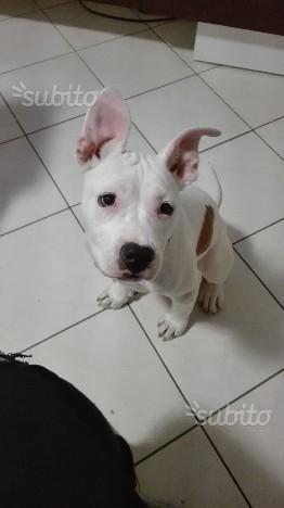 Cucciolo amstaff 3 mesi