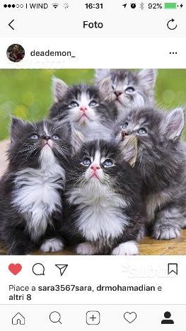 Gattini persiani blu persian