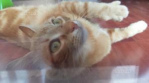Gattino rosso in regalo