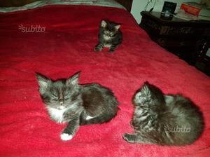 Maine Coon gattini maschi e femmine