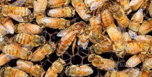 Nuclei e api regine celle reali