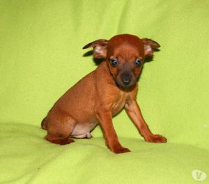 Pinscher, cucciolo maschio di taglia piccola