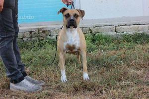 Regalo American Staffordshire Terrier